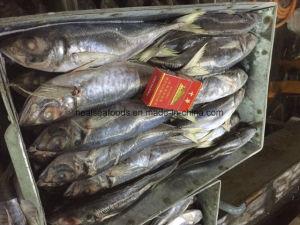 Chinese 20cm+ Frozen Horse Mackerel pictures & photos