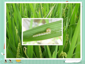 Biotechnology Biopesticide Insectifuge Insecticide Spinosad pictures & photos