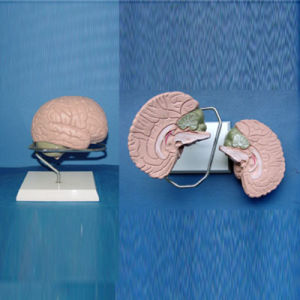 Demonstration Brain Medical Anatomy Model (R050106) pictures & photos