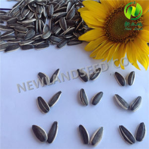 Sell Inner Mongolia Non-Gom Sunflower Seeds5009 pictures & photos