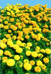 Zeaxanthin Lutein High Quality Marigold Extract pictures & photos