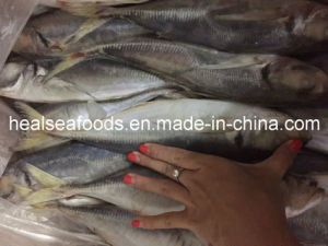Frozen Horse Mackerel Fish pictures & photos