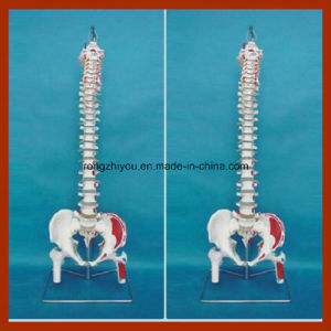 Flexible Vertebral Column Model with Femur Heads and Painted Muscles pictures & photos