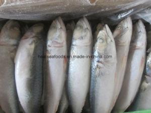 200-300 Land Frozen Pacific Mackerel Fish pictures & photos
