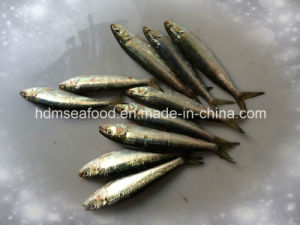 Whole Round Frozen Seafood Sardine Fish for Canned or Bait (Sardinella aurita) pictures & photos