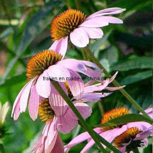High Quality Echinacea Extract & Boswellia Extract pictures & photos