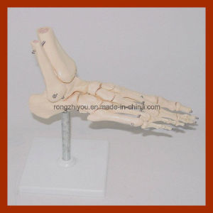 Life-Size Foot Skeleton Model, Anatomical Foot Model pictures & photos