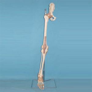 Human Lower Limb Skeleton Bone Medical Anatomy Model (R020906) pictures & photos