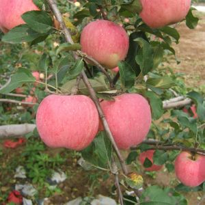Chinese Seleted Quality Fresh FUJI Apple pictures & photos