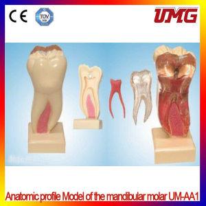 China Dental Supplies Anatomic Profile Model of The Mandibular Molar pictures & photos