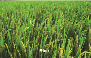 High Pure Compound Plant Growth Regulator Gibberellic Acid Heteroaxin Brassinolide Synergistic Agent pictures & photos