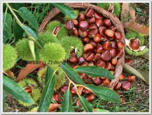 Exporting Fresh Sweet Chestnut From China pictures & photos