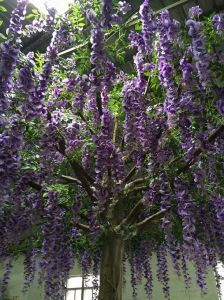 High Quality Artificial Flower Tree Westeria Gu1469163281735 pictures & photos