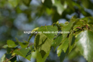 Birch Leaf Extract Flavonoides 5% Byuv pictures & photos