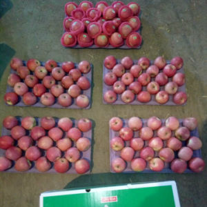 Good Quality of Fresh Qinguan Apple pictures & photos