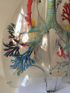 Human Transparent Lung Medical Anatomy Structure Model (R090205) pictures & photos