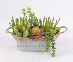Succulent Potted Mixed Plant for Decoration of Home/Office etc with Iron Pots