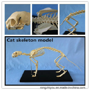 Hot Sale PVC Life Size Cat Anatomic Skeleton Model pictures & photos