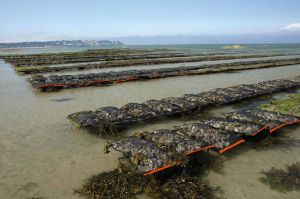 Sault Water Oyster Growing Bags, Cages pictures & photos