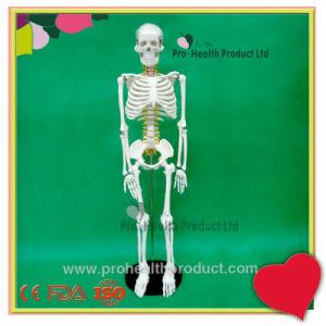 85cm Human Body Bone Skeleton Hanging Model pictures & photos