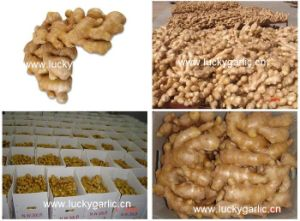 Fresh Ginger Good Quality Cheap Price pictures & photos