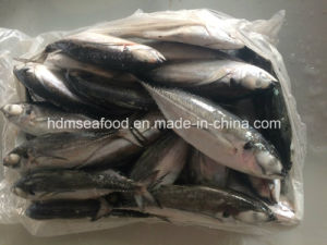Big Size Hardtail Scad Fish for Sale pictures & photos