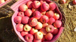 2014 Fresh FUJI Apples From China