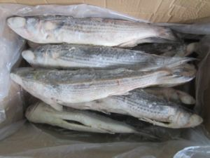 Whole Round Frozen Grey Mullet on Sale pictures & photos