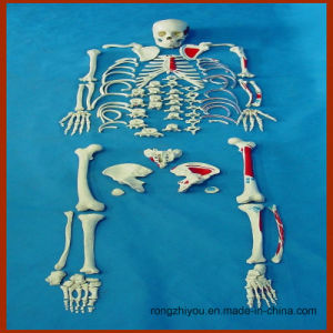 Disarticulated Full Human Skeleton, Painted Muscles Anatomical Model