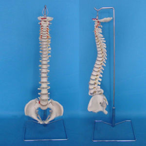 Medical Teaching Human Vertebra Bone Spine Skeleton Model (R020707) pictures & photos