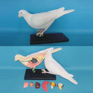 High Quality Dove Anatomy Model for Biology Teaching (R190102) pictures & photos