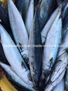 Land Frozen Pacific Mackerel 250-350g pictures & photos