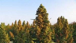 Chenopodium Quinoa Qinghai Origin pictures & photos