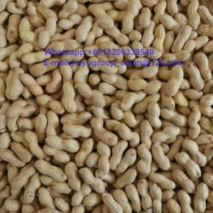 Top Quality Health Food Raw Peanut in Shell