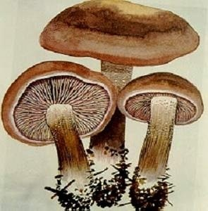 Lentinus Edodes P. E. /Polysaccharide/Mushroom Extract/Plant Extract pictures & photos