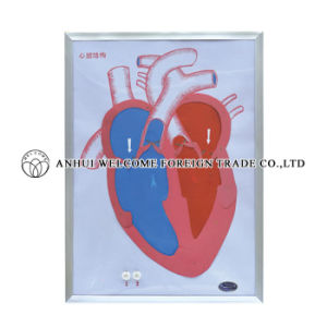 Model of Heart Beating and Valve Action pictures & photos