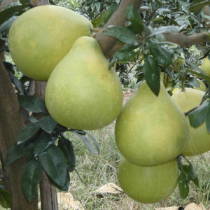 Honey Pomelo New and Fresh pictures & photos