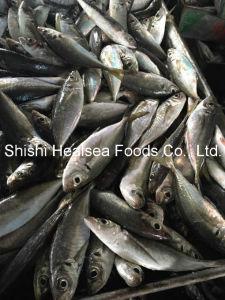 Prefect Fresh Mackerel, Horse Mackerel pictures & photos