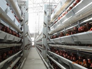 Automatic H Types Galvanized Q235 Steel Layer Poultry Rearing Cages pictures & photos