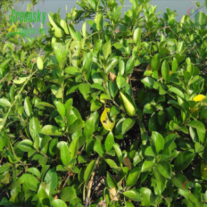 Gymnema Sylvestre Extract 25% Gymnemic Acids pictures & photos