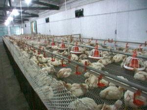Chicken Breeding System