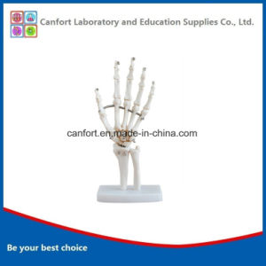 Teaching Model Anatomic Model Natural Size Human Hand Joint Model pictures & photos