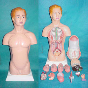 45cm American Human Body Parts Medical Anatomy Model pictures & photos