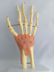 Natural Size Hand Joint with Ligament pictures & photos