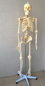 Lab Supplies Medical Educational Human Skeleton Model (R020102) pictures & photos