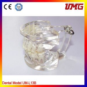 Dental Consumable Materials Plastic Dental Model of Teeth pictures & photos