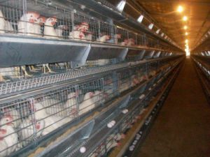 Poultry House with Full Set Automatic Equipment for Broilers/Layers pictures & photos