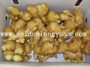 Carton Packing Fresh Ginger China Origin pictures & photos