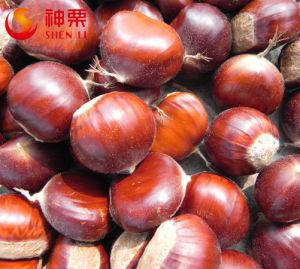 Sweet Fresh Chestnut Fresh Kuancheng Chestnuts