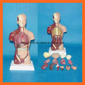 28 Cm Human Torso Model with 15 Parts of Human Anatomical Model pictures & photos